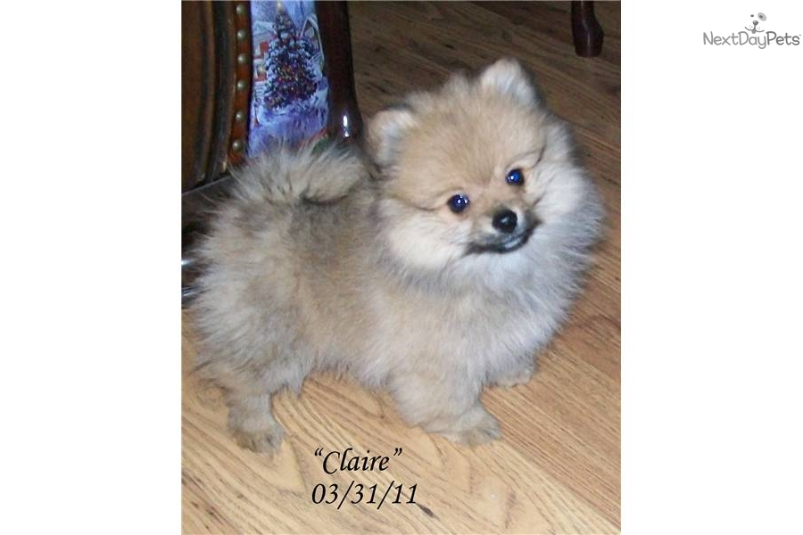 Claire~ Red Sable Female Pom, NEW PICS 3/31, VIDEO ...