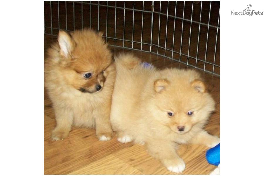Meet Destiny a cute Pomeranian puppy for sale for $545 ...