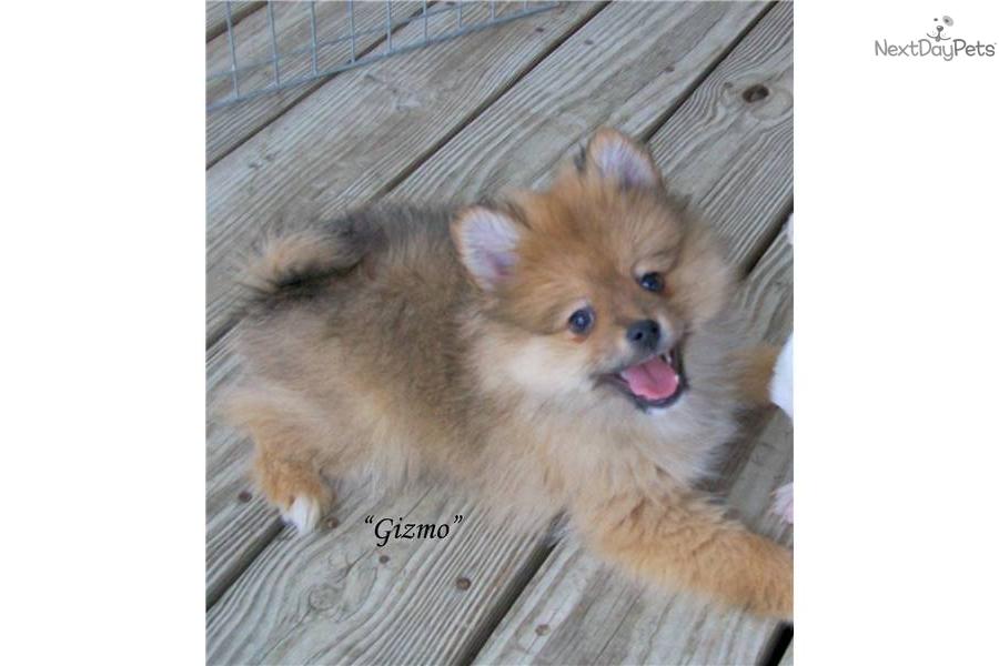 Pomeranian puppy for sale near Huntsville / Decatur ...