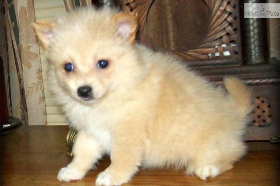 pomeranian puppies for sale in alabama pomeranian puppy for sale near huntsville decatur 8130