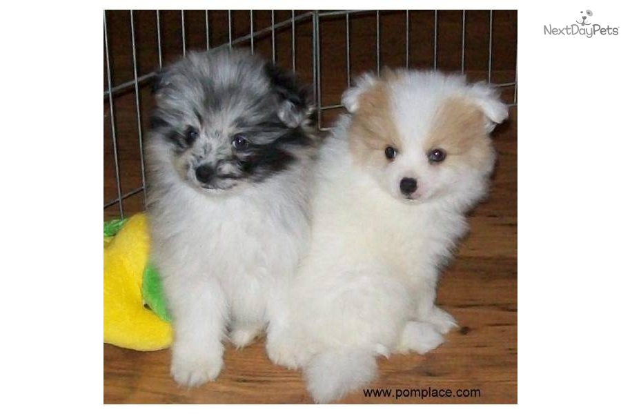 blue merle pomeranian puppies for sale pomeranian puppy for sale near huntsville decatur 3574