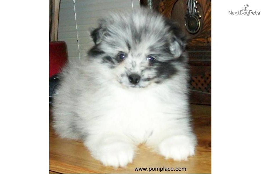 blue merle pomeranian puppies for sale pomeranian puppy for sale near huntsville decatur 4393