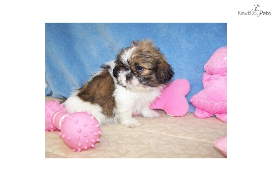 shih tzu breeders in tennessee shih tzu puppy for sale near knoxville tennessee 2940
