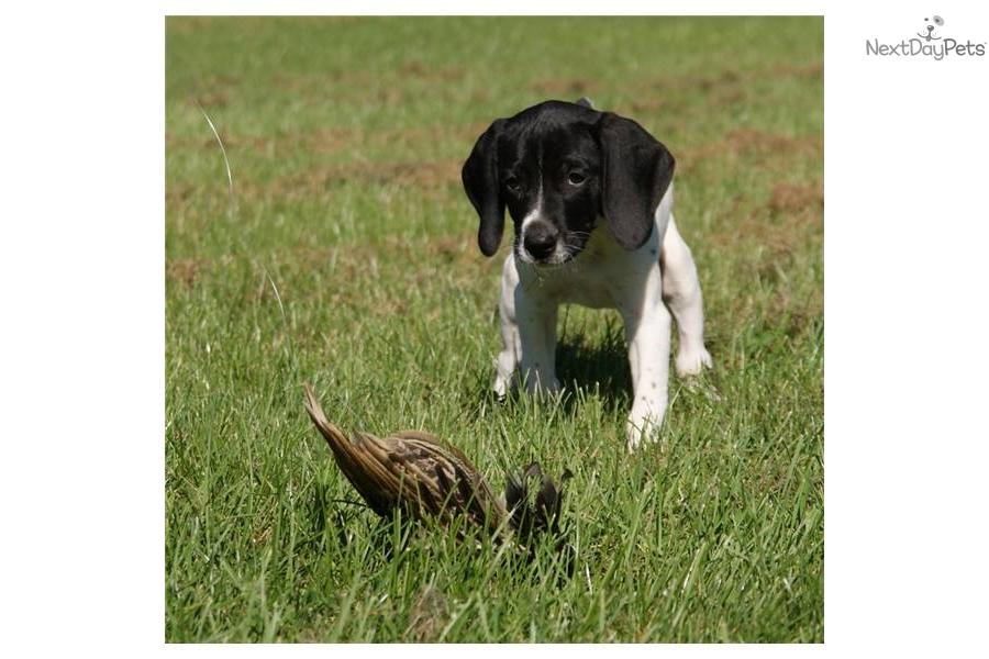 Meet Humdy Dumdy A Cute German Shorthaired Pointer Puppy