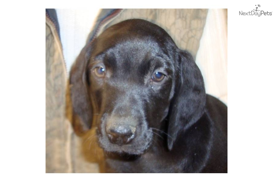 Black Male German Shorthaired Puppy German Shorthaired
