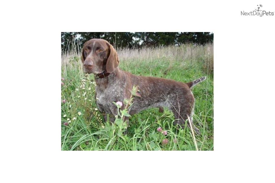 Meet Casey a cute German Shorthaired Pointer puppy for ...