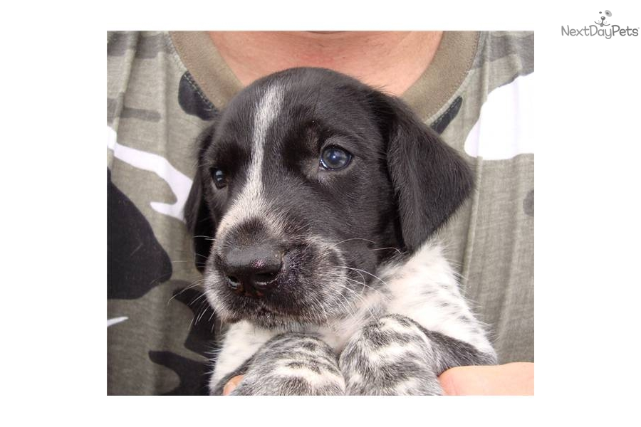 12 best images about Black Tick German Shorthair on ...  |Black Ticked German Shorthaired Pointer Puppies
