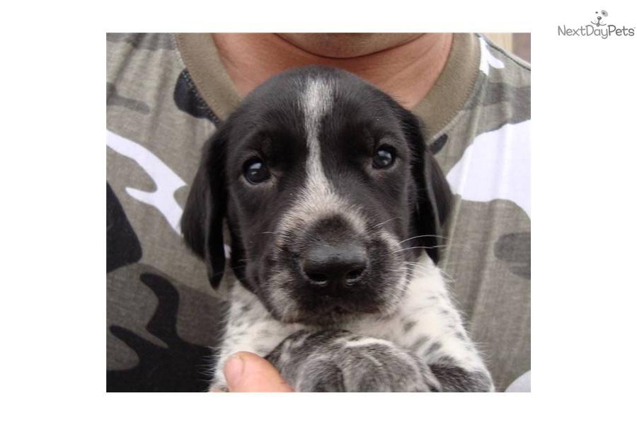 German Shorthaired Pointer, Kurtshaar Two Spotted Little ...  |Black Ticked German Shorthaired Pointer Puppies