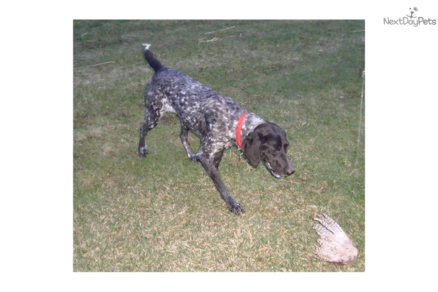 The gallery for --> Black Roan German Shorthaired Pointer