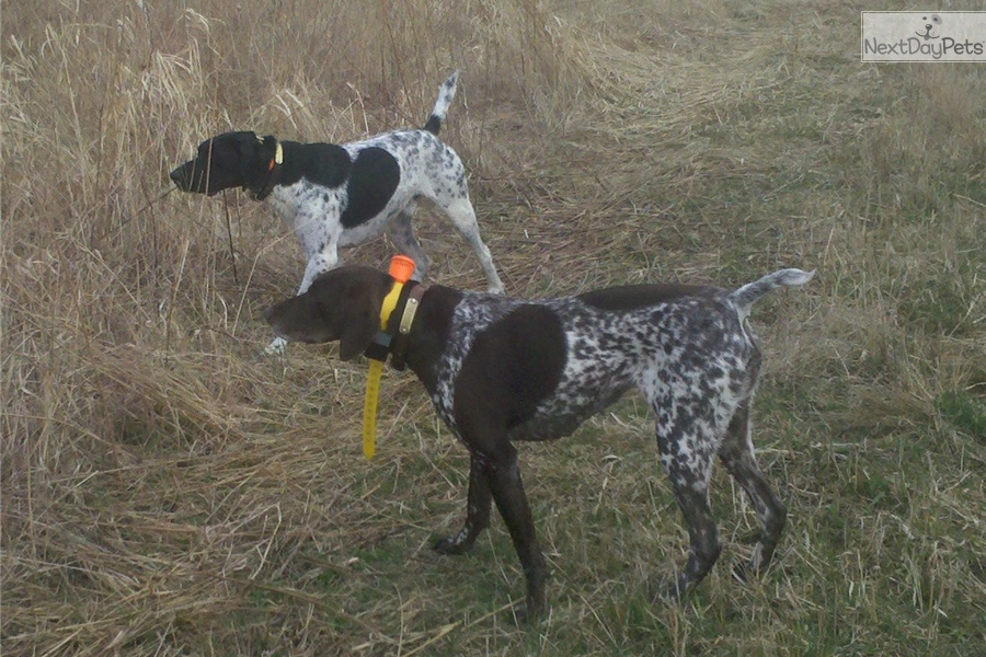 Snoopy: German Shorthaired Pointer puppy for sale near ...