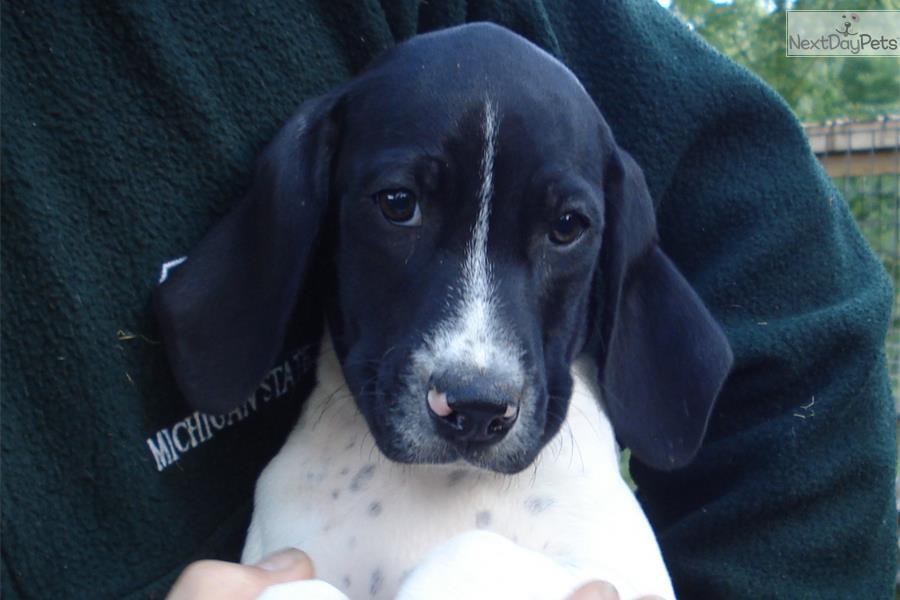 German Shorthaired Pointer: Temperament, Size, Colors  |Black Ticked German Shorthaired Pointer Puppies
