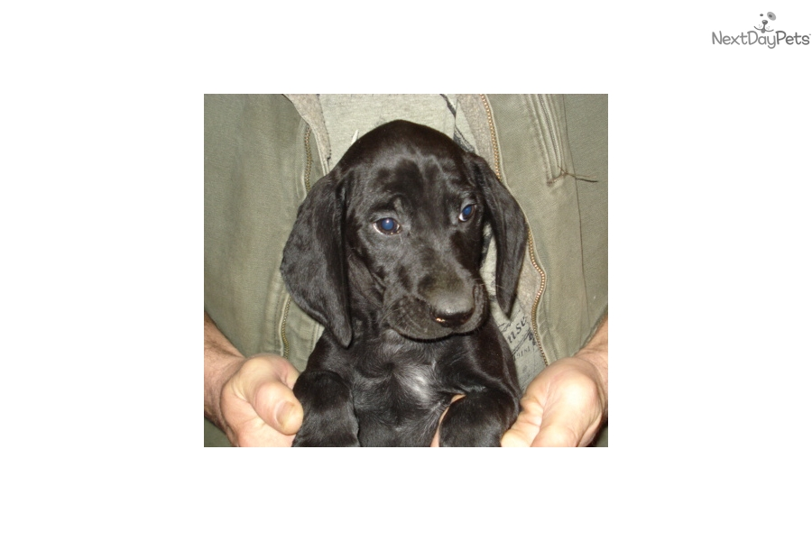 german shorthaired pointer puppies for sale in michigan german shorthaired pointer puppy for sale near lansing 793
