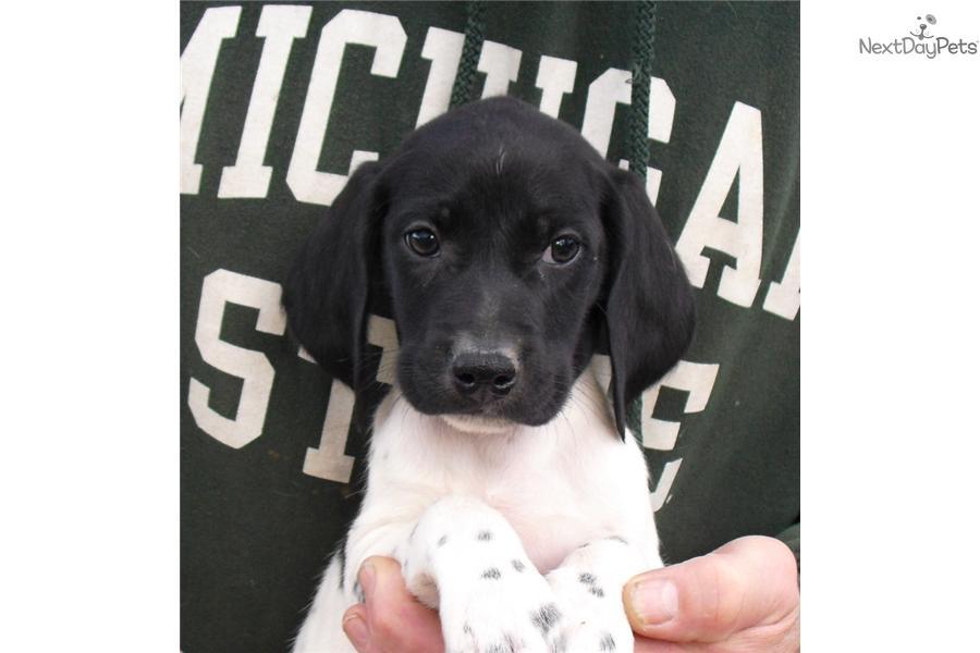 GERMAN SHORTHAIRED POINTER |Black Ticked German Shorthaired Pointer Puppies