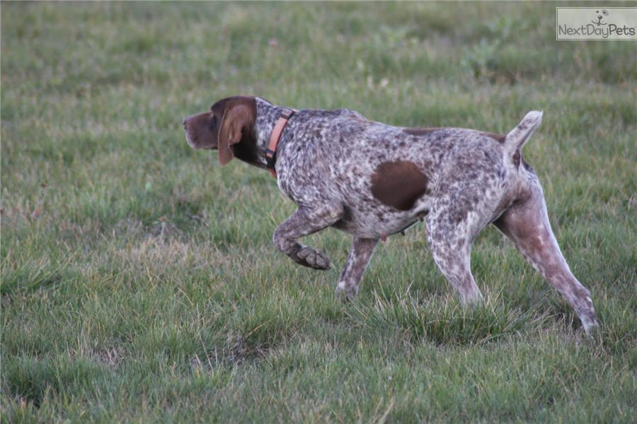 German Shorthaired Pointer puppy for sale near Flint ...