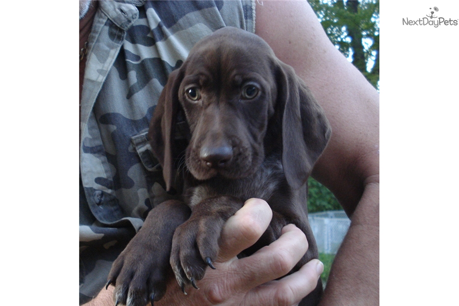 german shorthaired pointer puppies for sale in michigan german shorthaired pointer puppy for sale near flint 9306