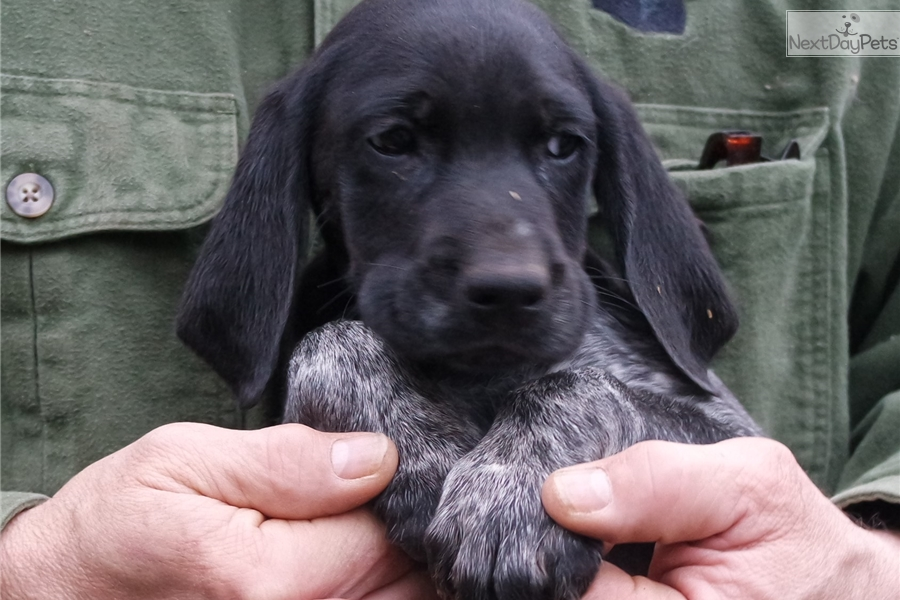 german shorthaired pointer puppies for sale in michigan lightning german shorthaired pointer puppy for sale near 2151