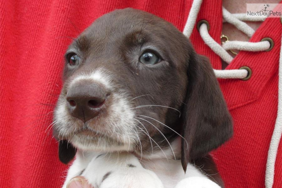 Liver N White Patched N Ticked Female Gsp Puppy German