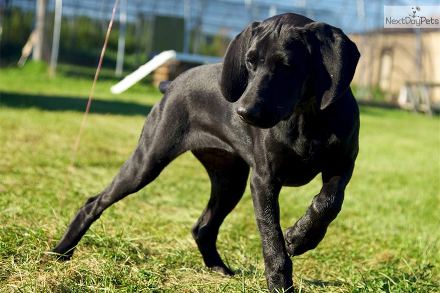 34 best Black German short haired pointers images on ...  |Black Ticked German Shorthaired Pointer Puppies
