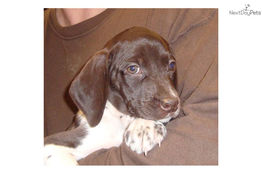 Meet Oreo a cute German Shorthaired Pointer puppy for sale ...