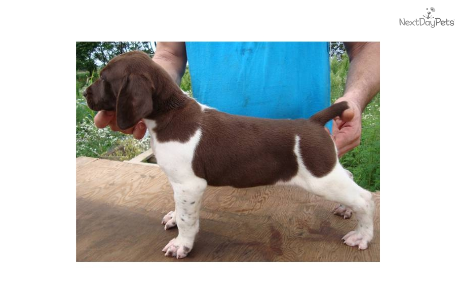 German Shorthaired Pointer puppy for sale near Battle ...