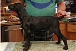 Picture of Black female GSP Puppy
