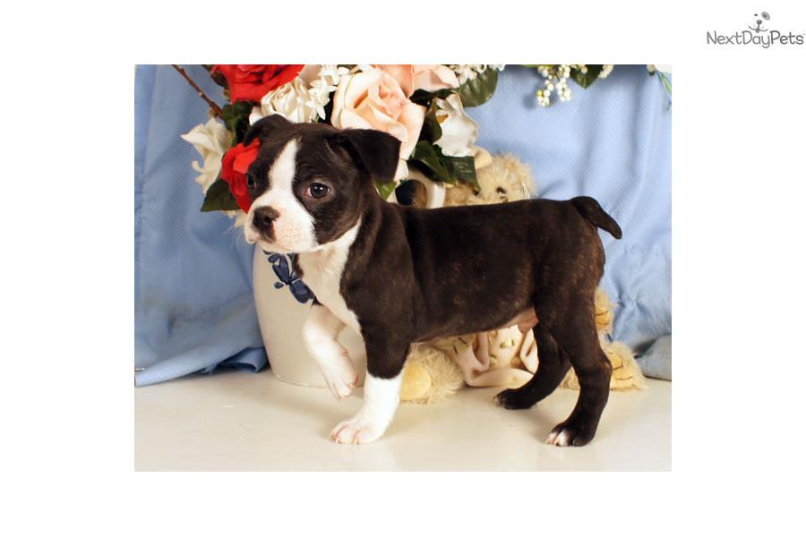 Brent Boston Terrier Puppy For Sale Near Williamsport