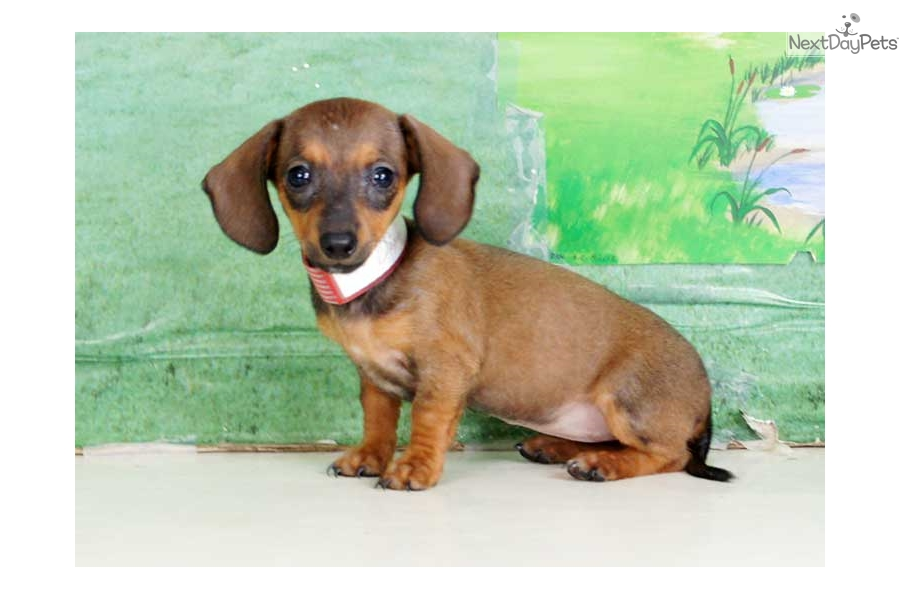 Dixie Dachshund Mini Puppy For Sale Near Williamsport