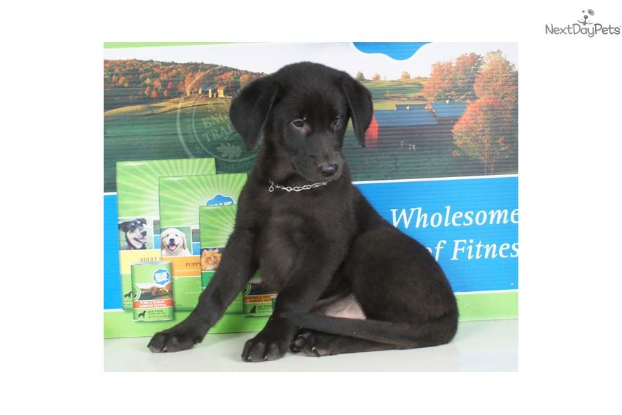 Gail German Shepherd Puppy For Sale Near Williamsport Pennsylvania
