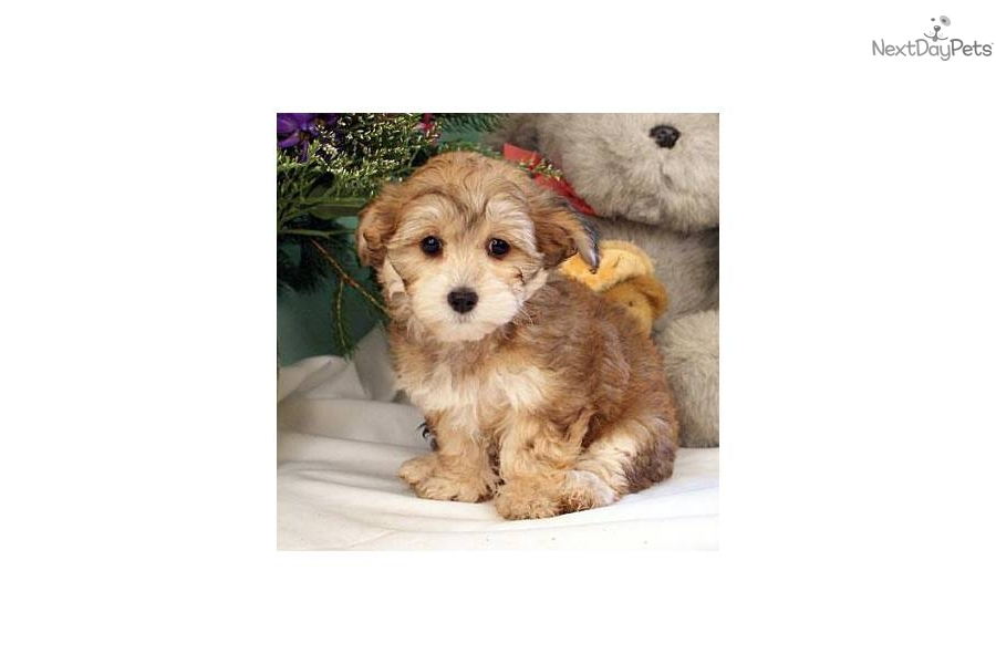 yorkie poo puppies for sale in pa yorkiepoo yorkie poo puppy for sale near williamsport 3195