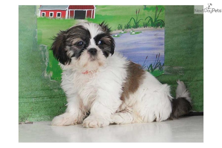 Liz Shih Tzu Puppy For Sale Near Williamsport Pennsylvania