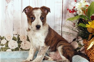 Hazel mix | Puppy at 16 weeks of age for sale