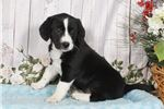 Picture of Dolly - Border Collie Mix