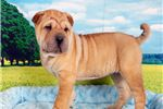 Picture of Wrinkles - female Scar Pei