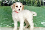Picture of Sadie - Cockabichon puppy for sale