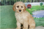 Cockapoo Puppies for Sale from Reputable Dog Breeders
