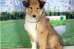 Picture of Lawson - Collie puppy for sale