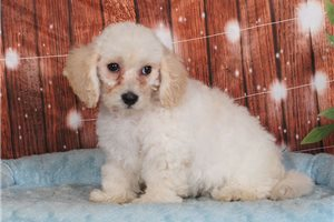 Sharla | Puppy at 12 weeks of age for sale