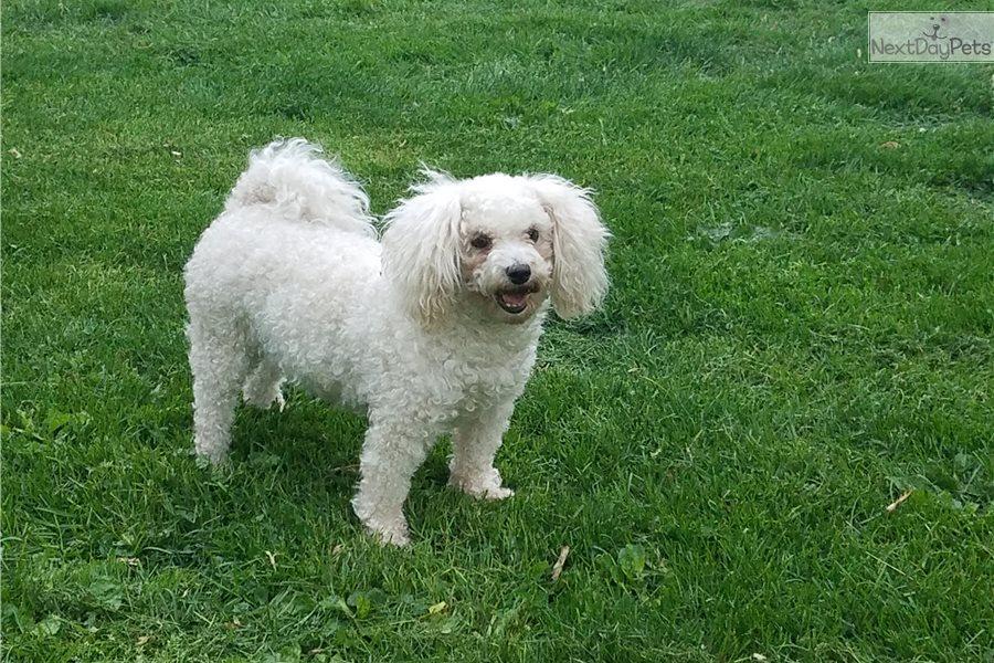 Cockapoo Puppy For Sale Near Chicago Illinois 81b86ef7 7ac1