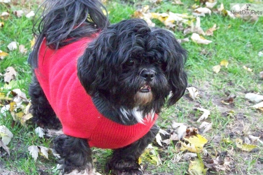Smokey : Shih Tzu puppy for adoption near Chicago, Illinois