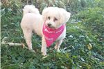 Picture of Tiff is a 8 year old female Cockapoo