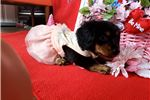 Picture of Gracie is a long hair black & tan brindle