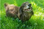 Picture of Adult chocolate and tan long haired dachshund