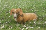 Picture of Heidi is an adult cream spayed dachshund