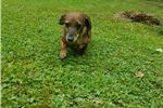 Picture of Tiger lily is a red smooth brindle female
