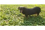 Picture of Virginia is a sweet senior mini doxie