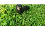 Picture of Mattie is a smooth black and tan senior doxie