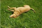 Picture of Bella is a small mixed breed rescue