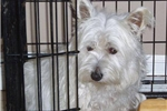 Featured Breeder of Westiepoos with Puppies For Sale