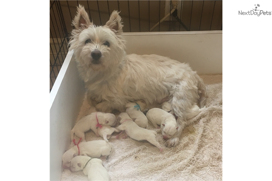 Akc Male: West Highland White Terrier - Westie puppy for sale near