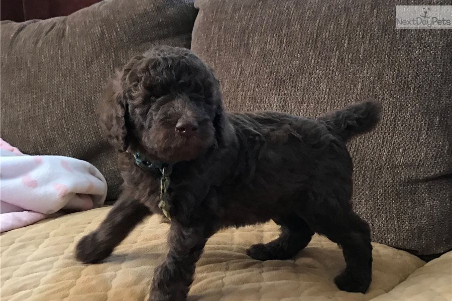 Junior : Poodle, Standard puppy for sale near New ...